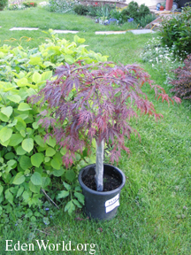 Small japanese red maple tree flowering fruit trees for Small japanese tree